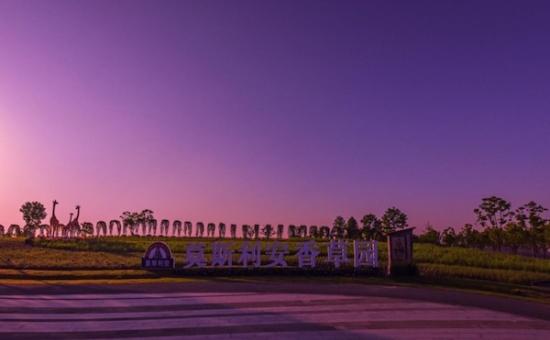 上海薰衣草公园200亩薰衣草即将迎来颜值巅峰